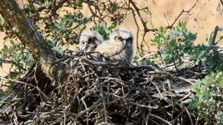 Great-Horned-Owls-1