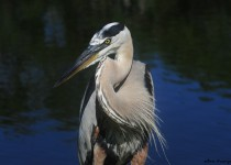 Great_Blue_Heron