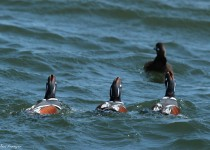 Harlequin_Ducks_1