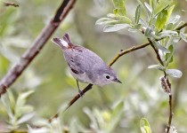 Lucys-Warbler-Cave-Springs-5-2-09-3a-200PI