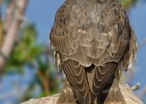 Merlin-Falcon-Bremer