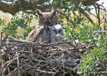 Owl-Babies-1
