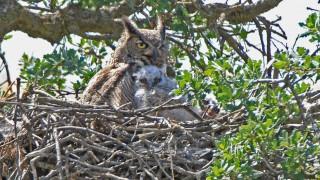 Owl-Babies-2