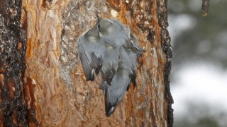 Pygmy-Nuthatches-Roosting-Yard-2-19-11-5-200PI