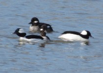 Raft-of-Bufflehead