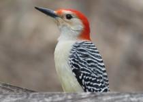 Red-Bellied-feeder-bird