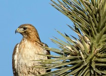 Red-Tailed-Hawk-Joshua-Tree-Bremer