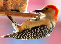 Red-bellied-Woodpecker1