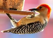 Red-bellied-Woodpecker1