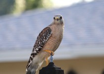 Red-shouldered-Hawk-2-Sarasota