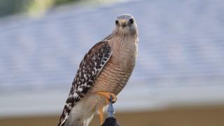 Red-shouldered-Hawk-2-Sarasota