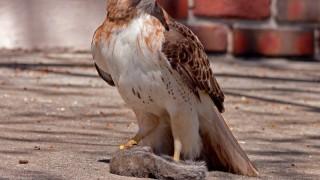 Red-tailed-Hawk-David-Butel_Kansas-City__MG_1330