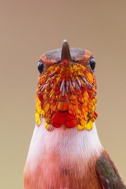 Rufous-Hummingbird-upclose-POW