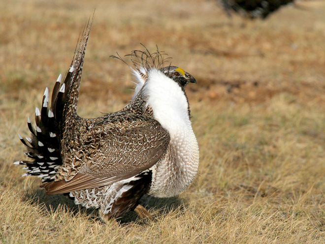 Greater Sage-Grouse ©2013 Robert Martinez