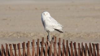 Snowy-Owl-Dec.-12-2011-on-fence-b