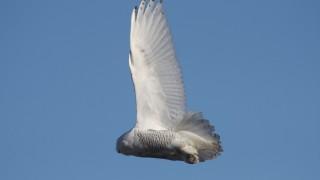 Snowy-Owl-Szeszol-2