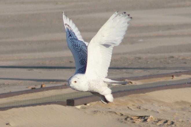 Snowy-Owl-Szeszol