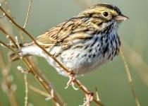 Sparrow-Bremer