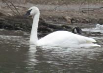 Trumpeter-Swan.Web