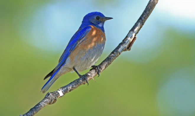 Western-Bluebird