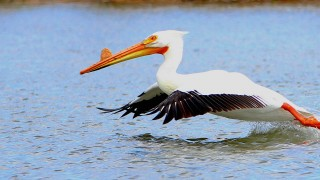 White-American-Pelican-6326A