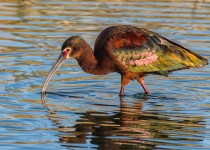 White-Faced-Ibis-Bremer