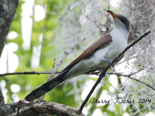 Yellow-billed Cuckoo by