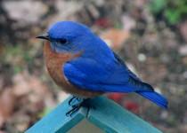blueonmyfeeder1