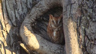 fmitchell_screechowl2014
