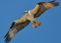 Osprey over Long Beach, Stratford, Connecticut, April 28, 2014, by lcraska.