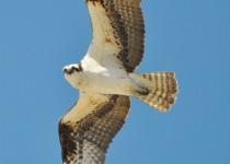 ospreynatgeoside