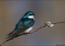 tn_Tree-Swallow_9139-12