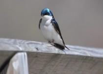 treeswallowlarge