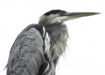 01-5-Heron