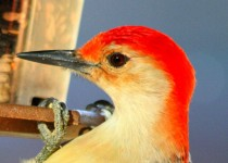 01-9-Red-bellied-Woodpecker-3