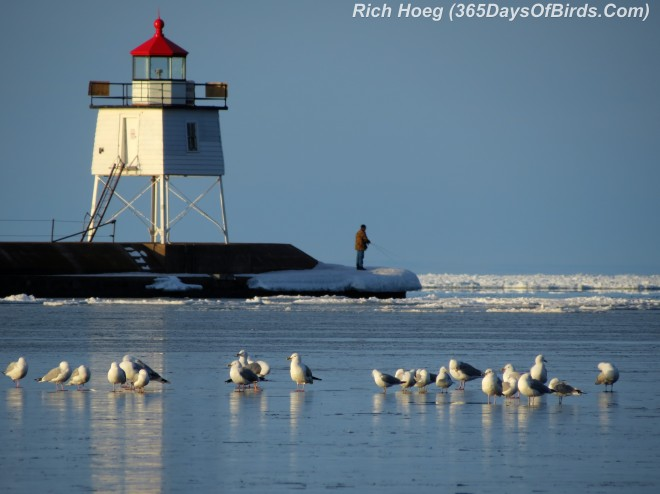 086-Birds-365-Two-Harbors-Light-Gulls-2