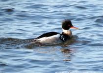 112-Birds-365-Red-Breasted-Merganser