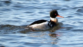 112-Birds-365-Red-Breasted-Merganser