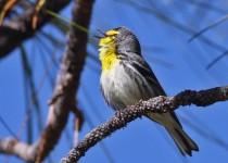 April-14-Graces-Warbler1