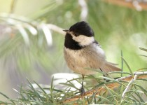 April-14-Mexican-Chickadee1