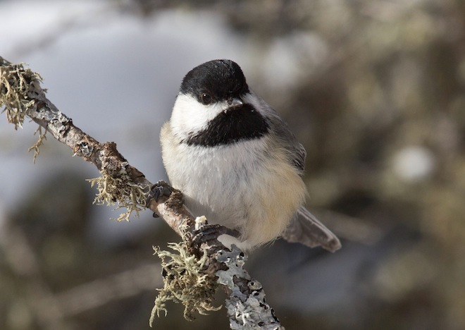 Because chickadees are perfectly capable of finding their own food, their visits to feeders are always entertaining and joyful. Photo by Laura Erickson.