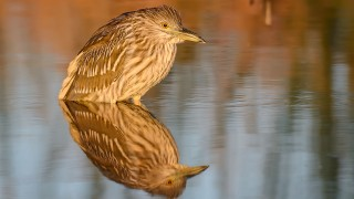 Black-crowned-Night-Heron-Juvenile-Bremer