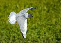 Bonaparte's Gull ©2014 Brent Bremer