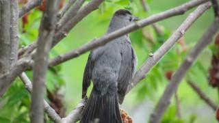 Catbird-in-Sumac