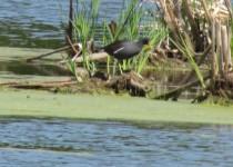 Common-Gallinule