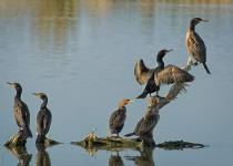 Cormorants-Bremer