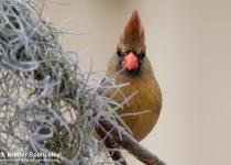 DSC0023-Northern-Cardinal