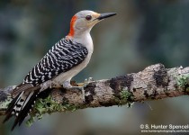DSC0116-Red-bellied-Woodpecker
