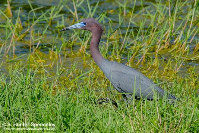 DSC0132-Little-Blue-Heron