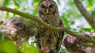 DSC0155-Barred-Owls